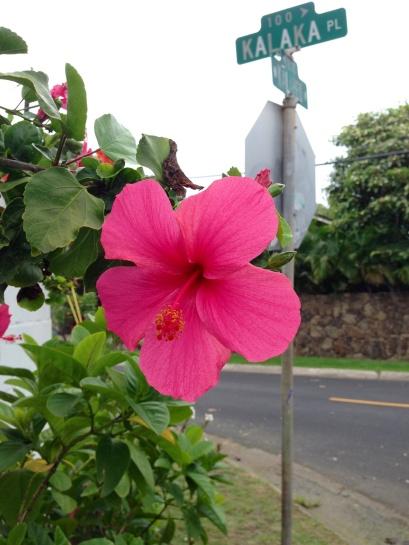 Hibiskus blüht an jeder Straßenecke